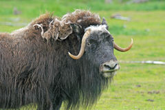 Portrait of musk ox Stock Photo