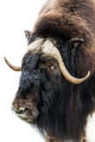 Portrait of musk-ox. Stock Images