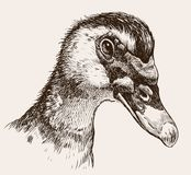 Portrait of a musky duck Stock Photos
