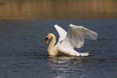Portrait of mute swan Cygnus olor cleaning plumage. Portrait of natural mute swan Cygnus olor cleaning plumage Stock Photo
