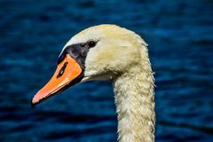 Portrait of a mute swan, female. royalty free stock photo