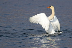 Portrait of a mute swan with open wings Stock Image