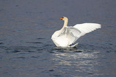Portrait of a mute swan with open wings Royalty Free Stock Images