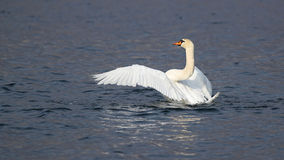 Portrait of a mute swan with open wings Royalty Free Stock Photography