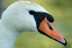 Portrait of the mute swan. Poland,summer.Portrait of the adult female Mute swan(Cygnus olor Stock Photography