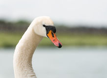 Portrait of a Mute Swan Stock Photo