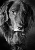 Portrait of a mutt. A black and white portrait of a beautiful mutt Stock Images