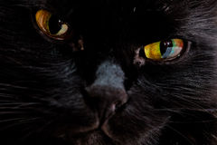 Portrait of the muzzle of a black cat Stock Images