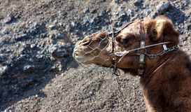 Portrait of a  muzzle camel Stock Photo