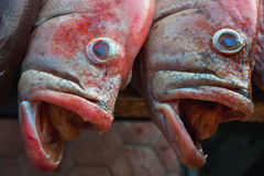 Portrait muzzle pair redsnepper delicate pink color, open jaws, small teeth visible, blue eyes bulging white eye socket, fresh sea. Food, fishing market, India Stock Image