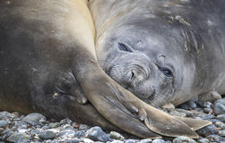 Portrait of the muzzle of the sea seal and its back pair of fins. Andreev. royalty free stock image