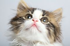 Portrait of a muzzle of a small black and white kitten looking up. On a gray studio background Royalty Free Stock Photography