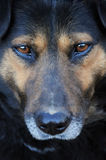 Portrait of my dog. Close-up of my dog Don - beautiful eyes and face stock image