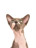 Portrait of a naked sphinx cat looking up Stock Photos