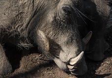 Portrait of a Namibian Warthog, Phacochoerus africanus.  Stock Images