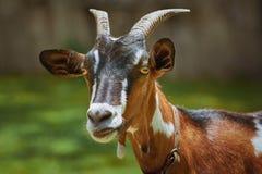 Portrait of Nanny Goat Royalty Free Stock Image