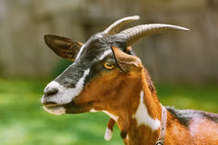 Portrait of Nanny Goat. Against the Dark Background Stock Photography