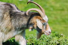 Portrait of Nanny Goat Royalty Free Stock Photography