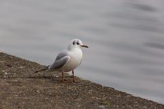 Portrait of natural common black-headed gull Larus ridibundus Stock Photos