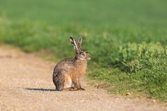 Portrait european brown hare jackrabbit lepus europaeus sittin. Portrait natural european brown hare jackrabbit lepus europaeus sitting on trail Royalty Free Stock Photography