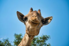 Portrait of natural giraffe head in blue sky royalty free stock photos