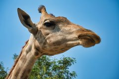 Portrait of natural giraffe head in blue sky stock photography