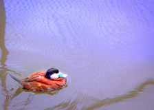 Portrait of natural swimming mallard duck in the river. with cop Royalty Free Stock Photos