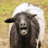 Portrait naturaliste de chèvre Images libres de droits