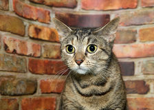 Portrait of a nervous wide eyed tabby by brick wall. Portrait of one brown and black tabby cat nervously looking to viewers left. Brick wall background royalty free stock photography