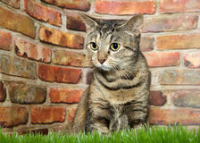 Portrait of a nervous wide eyed tabby sitting in grass. Portrait of one brown and black tabby cat crouched nervously in grass looking to viewers left. Brick wall royalty free stock photo