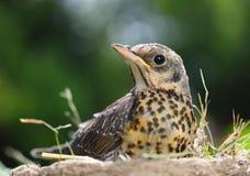 Portrait of a nestling thrush Fieldfare royalty free stock photo