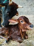 Portrait of New born calf with mother cow royalty free stock photos