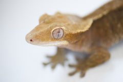 A portrait of a New Caledonian Crested Gecko (Rhacodactylus cili Stock Images