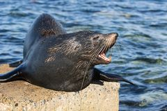Close up portrait New Zealand Fur Seal, Arctocephalus forsteri, long-nosed fur seal open its mouth in the sun on the. Portrait New Zealand Fur Seal royalty free stock photography