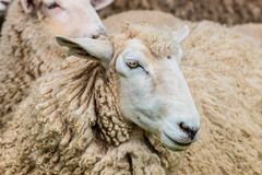 Portrait of a New Zealand Sheep Stock Photos
