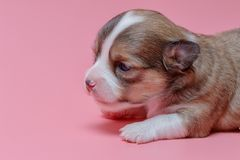 Portrait of newborn chihuahua puppy. On pink background Royalty Free Stock Photos