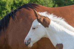 Portrait of the newborn foal white brown outdoors Royalty Free Stock Photo