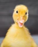 Portrait of newborn gosling Stock Image
