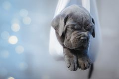 Portrait of a newborn gray cane corso puppy sleeping in a hammock. Selective focus stock photography