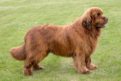 The portrait of Newfoundland brown dog. In the garden stock image