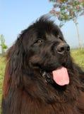 Portrait of Newfoundland dog Royalty Free Stock Photos