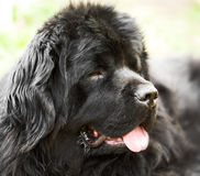 Portrait of newfoundland dog Royalty Free Stock Images