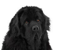 Portrait of newfoundland dog Stock Photos