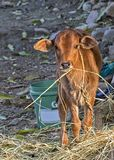 Portrait of newly born calf of cow in an indian village. Portrait of a newly born cow calf grazing dried straw in an indian village royalty free stock photos