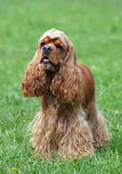 Portrait of  nice american cocker spaniel Royalty Free Stock Photos