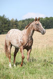Portrait of nice appaloosa mare Royalty Free Stock Image