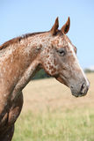 Portrait of appaloosa Stock Photo