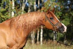 Portrait of nice arabian horse Stock Image