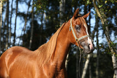 Portrait of nice arabian horse Stock Photography