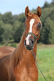 Portrait of nice arabian horse Royalty Free Stock Images